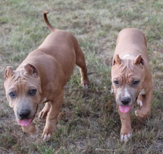Bully Puppies For Sale Xl American Bully Breeders In Texas